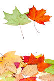 Two maple and many dead leaves Stock Photo