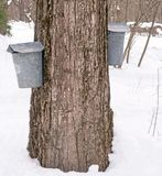 Maple sugar buckets. Two maple sugar collection buckets on maple tree, Lenox, Massachusetts, Berkshires during March springtime harvest, New England Stock Image