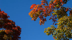 Two maple trees Royalty Free Stock Photo