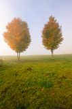 Two maple trees on a foggy autumn morning Stock Images