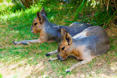 Two Mara resting Royalty Free Stock Photos