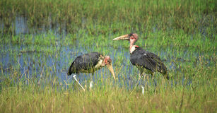 Two Marabou storks Royalty Free Stock Photos
