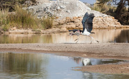 Two Marabou storks take off Stock Photography