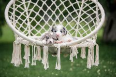 Two Marble puppy border collie sleeping in a white hammock in nature royalty free stock photography