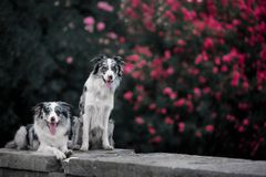 Two marble sophisticated border collie on the background of a blossoming tree. Two border collie on the background of a blossoming tree stock image