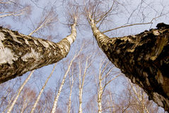 Two march birches on sky background Stock Image