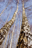 Two march birches on sky background Stock Photography