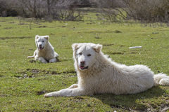 Two Maremma Sheepdogs Royalty Free Stock Photography
