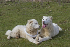 Two  Maremma Sheepdogs Royalty Free Stock Images
