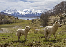 Two Maremma Sheepdogs Royalty Free Stock Photos