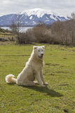 Two Maremma Sheepdogs Royalty Free Stock Photo