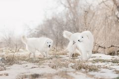 Two Maremma white dog runs in snow in a forest royalty free stock photos