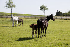 Two mares with foals Stock Photo