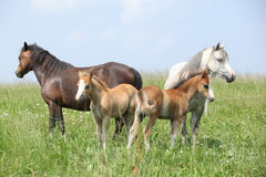 Two mares with two foals Stock Photos
