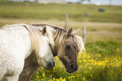 Two Mares. Who are inseparable in a Buttercup field, the best of friends stock photo