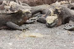 Two marine iguanas facing each other. Royalty Free Stock Photo
