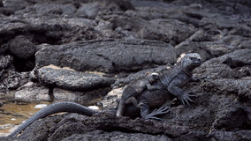 Two marine iguanas. Just out of the water warming each other Stock Photography
