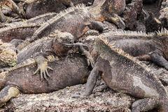 Two marine iguanas looking at each other. Royalty Free Stock Photos