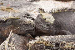 Two marine iguanas looking like lovers. Stock Images