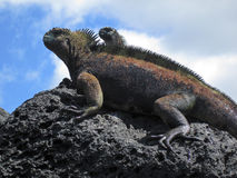 Two Marine Iguanas On Rock Royalty Free Stock Image