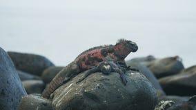 Two marine iguanas on a rock at isla Espanola in the Galapagos. Islands, Ecuador stock video