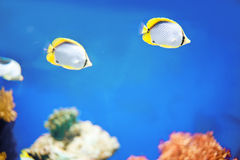 Two marine tropical fish Stock Photos