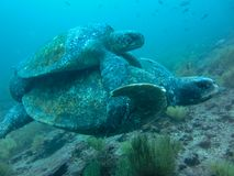 Two Marine turtle mating underwater on galapagos islands ecuador stock photography