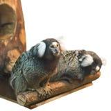 Two marmoset isolated on white. Background Stock Images