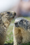 Two Marmot while fighting Stock Photography