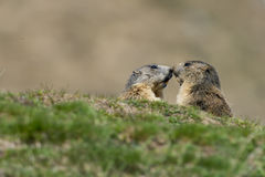 Two Marmot while fighting Stock Photo