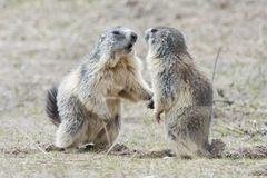 Two Marmot while playing Stock Image