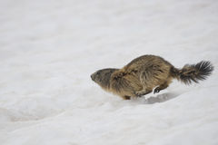 Two Marmot while playing Royalty Free Stock Image