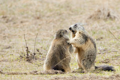 Two Marmot while playing Stock Photography