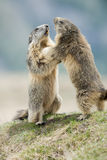 Two Marmot while playing Stock Images