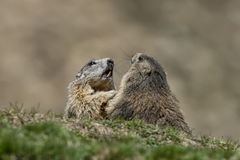 Two Marmot while playing Stock Photos