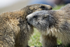 Two Marmot while playing Royalty Free Stock Photos