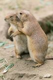 Two marmot. That's are hugging Stock Image