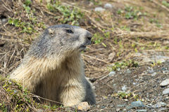 Two Marmot while standing. Marmot portrait on grass background royalty free stock photo
