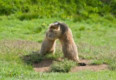 Two marmots Stock Photography