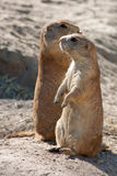 Two marmots. Stands out from the lair Stock Photo