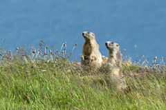 Two marmots on alert. Two marmots stands out of its den, Gran Paradiso National Park, Italy Royalty Free Stock Images