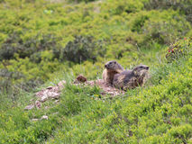 Two marmots Stock Photos