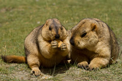 Two marmots with bisquit on the green grass Stock Photo
