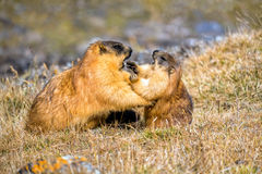 Two marmots fight in a mountain meadow Royalty Free Stock Photos