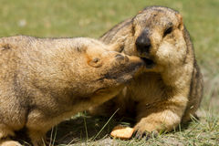 Two marmots fighting for the bisquit Royalty Free Stock Photo