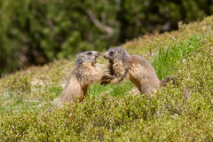 Two marmots fighting for territory Stock Images