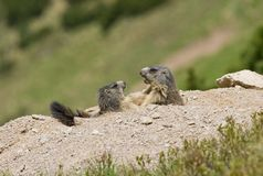 Two marmots fighting for territory Royalty Free Stock Images
