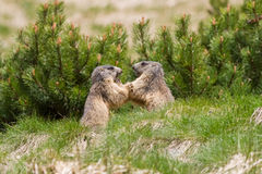 Two marmots fighting for territory. Two cute marmots fighting for territory Royalty Free Stock Images