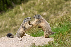 Two marmots fighting for territory. Two cute marmots fighting for territory Stock Image