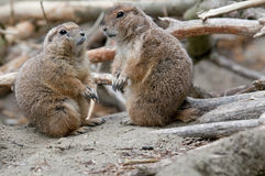 Two marmots. Like they are having a conversation stock photo